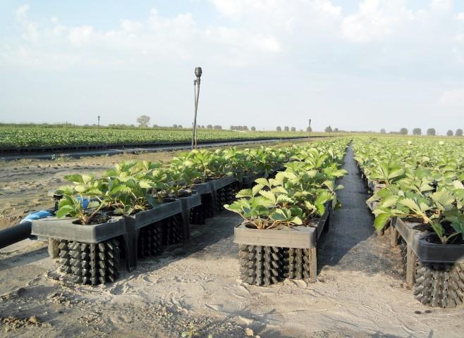 coltivazione in campo aperto