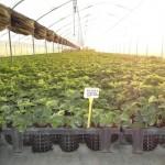 coltivazione sotto serra